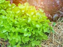 Zielonego i czerwonego dębu sałaty roślina w gospodarstwie rolnym Obrazy Stock