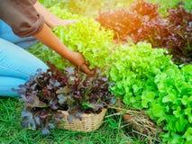 Zielonego i czerwonego dębu sałaty roślina w gospodarstwie rolnym Zdjęcie Royalty Free