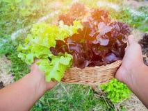 Zielonego i czerwonego dębu sałaty warzywo Zdjęcia Stock