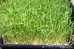 Zielonego jedzenia Mung bobowa flanca Zdjęcie Royalty Free