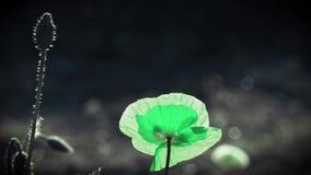 Zielonego koloru maczek Słońca ` s promienie iluminują makowego kwiatu zbiory wideo