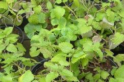 Zielonego koloru Nowi liście w ogródzie Obraz Royalty Free
