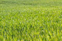 Zielonego koloru trawy tekstura Pole banatek flance, Ukraina Obraz Royalty Free