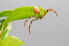 Zielonego kraba pająk (Diaea dorsata) obrazy royalty free
