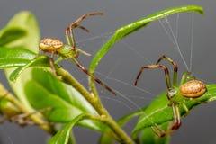 Zielonego kraba pająk (Diaea dorsata) Fotografia Stock