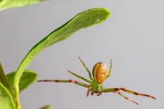 Zielonego kraba pająk (Diaea dorsata) Obraz Stock