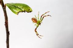 Zielonego kraba pająk (Diaea dorsata) Zdjęcia Stock