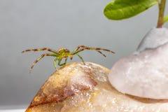 Zielonego kraba pająk (Diaea dorsata) Zdjęcie Stock