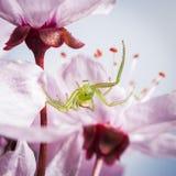 Zielonego kraba pająk, Diaea dorsata Zdjęcia Stock