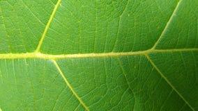 Zielonego liścia drzewa tekowy krajobraz zdjęcie stock
