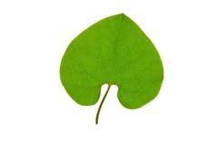 Zielonego liścia kierowy kształt odizolowywający Zdjęcie Stock