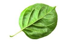 Zielonego liścia tekstury makro- tło Fotografia Royalty Free