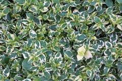 Zielonego liścia naturalny backgrorund Zdjęcie Stock