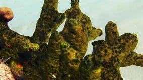 Zielonego morza gąbki koral w Bahamas Zakończenie zdjęcie wideo