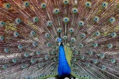 Zielonego peafowl Pavo muticus Zdjęcia Royalty Free