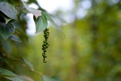 Zielonego pieprzu roślina w Wietnam fotografia royalty free