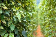 Zielonego pieprzu roślina w Wietnam fotografia stock