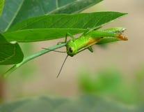 Zielonego pospolitego pasikonika żywieniowy zbliżenie Obrazy Royalty Free