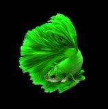 Zielonego smoka boju siamese ryba, betta ryba odizolowywająca na czerni Zdjęcie Stock