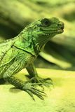 zielonego smoka jaszczurka Obraz Royalty Free