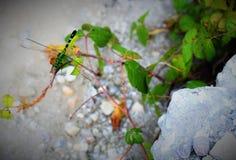 Zielonego smoka komarnica Fotografia Royalty Free