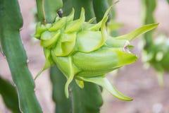Zielonego smoka kwiat Zdjęcia Royalty Free