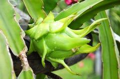 Zielonego smoka owoc Fotografia Stock