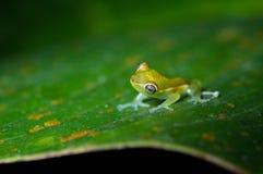 Zielonego szkła żaba Fotografia Royalty Free