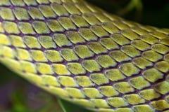Zielonego węża baron setkarz makro- zdjęcie royalty free