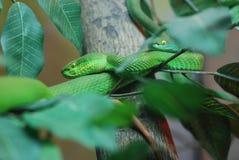 zielonego węża dwa żmija Obraz Stock
