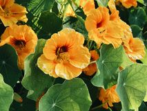 Zielonego winogradu Pomarańczowy kwiat zdjęcia royalty free