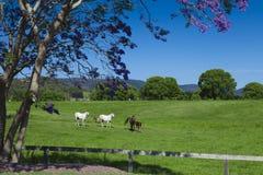 zielonego wzgórza konie Zdjęcie Stock
