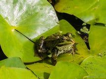 Zielonej żaby obsiadanie na liściach zdjęcia stock