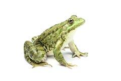 Zielonej żaby przyglądający up Zdjęcia Royalty Free
