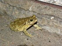 Zielonej żaby kumaka obsiadanie w jardzie fotografia royalty free