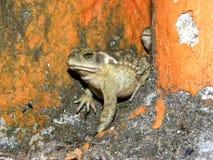 Zielonej żaby kumaka obsiadanie w jardzie zdjęcia stock