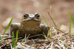 Zielonej żaby obsiadanie w trawie Zdjęcie Stock