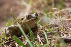 Zielonej żaby obsiadanie w trawie Obraz Royalty Free