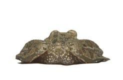 Zielonej żaby plecy Fotografia Royalty Free