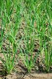 Zielonej cebuli dorośnięcie w ogródzie Obraz Royalty Free