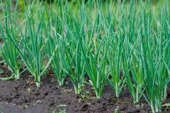 Zielonej cebuli dorośnięcie w ogródzie Fotografia Royalty Free