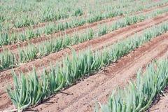 Zielonej cebuli gospodarstwo rolne zdjęcia stock