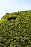 zielonej ściany Fotografia Stock