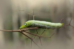 Zielonej dżdżownicy gąsienicowi zwierzęta na drewna i sosny rożku zamazują tło zdjęcie stock