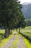 Zielonej herbaty gospodarstwo rolne Zdjęcie Royalty Free