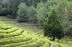 Zielonej herbaty gospodarstwo rolne Obrazy Stock
