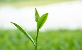 Zielonej herbaty gospodarstwo rolne. Obraz Royalty Free