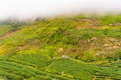 Zielonej herbaty plantaci gospodarstwa rolnego krajobrazu wzgórza kultywacja Zdjęcie Stock