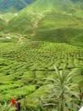 Zielonej herbaty plantaci krajobraz Fotografia Royalty Free