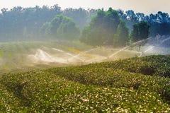Zielonej herbaty plantaci krajobraz Zdjęcia Royalty Free